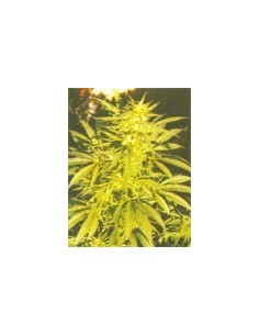 Nirvana Seeds - Northern Light