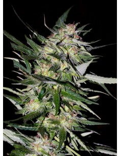 Advanced Seeds - Jack Plant