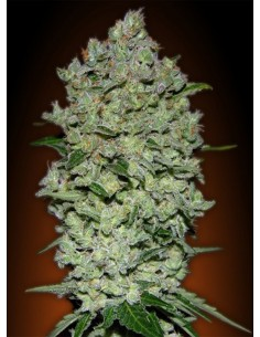 Advanced Seeds- Auto Biodiesel Mass