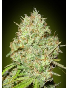Advanced Seeds - Shark Widow