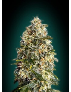 Advanced Seeds- Heavy Bud