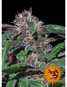 Barney's Farm - Ayahuasca Purple