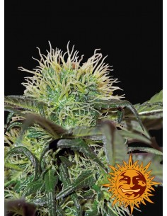 Barney's Farm - Bad Azz Kush
