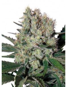Buddha Seeds - White Dwarf Regulares (10 + 5)