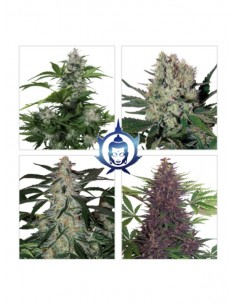Buddha Seeds - Assorted Auto