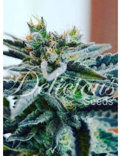 Delicious Seeds - Sugar Black Rose