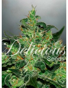 Delicious seeds - Auto critical Jack herer