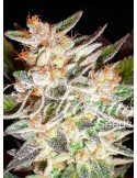 Delicious Seeds - Auto Cheese Candy