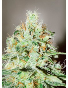 Delicious Seeds - Jagg Kush