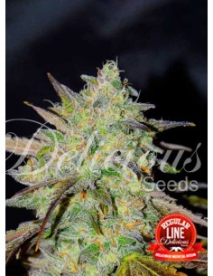 Delicious Seeds- Marmalate Regular