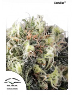 Dutch Passion - Snow Bud