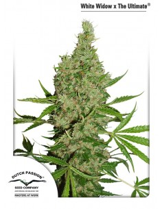 Dutch Passion - White Widow X The Ultimate 10 Semillas Regulares