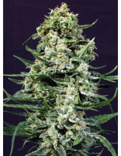 Exotic Seeds - Auto Sir Jack