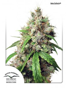 Dutch Pasion - Auto Blueberry