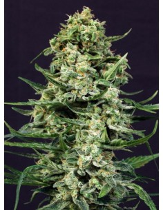 Exotic Seeds - Sir Jack