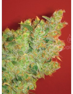 Medical Seeds - Jack la Mota