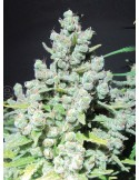 Medical Seeds - Malakoff