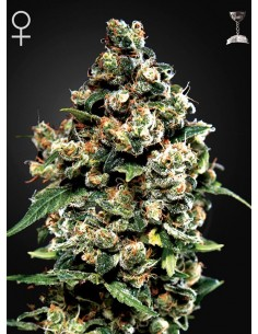 Green House - Jack Herer