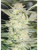 Medical Seeds - White Widow