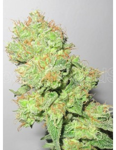 Medical Seeds- Y Griega CBD