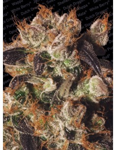 Paradise Seeds- White berry