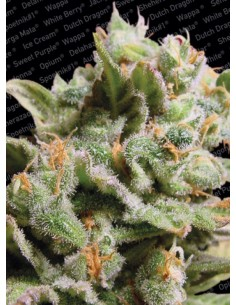 Paradise Seeds- Dutch Dragon