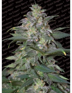 Paradise Seeds- Magic Bud
