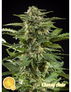 Philosopher Seeds - Auto Cheesy