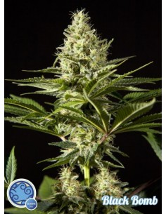 Philosopher Seeds - Black Bomb