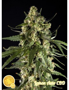 Philosopher Seeds - Auto Lemon CBD