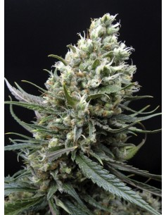 Ripper Seeds - Ripper Haze