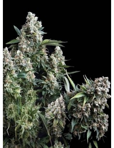 Pyramid Seeds - Auto Tutankhamon