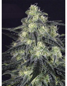 Ripper Seeds - Black Valley