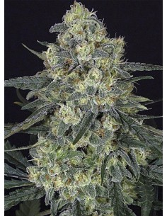 Ripper Seeds - Criminal+