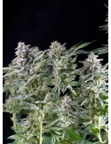 Pyramid Seeds - Northen Light (Pyramid)