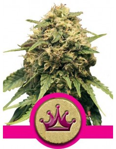 Royal Queen Seeds - Special Queen 1