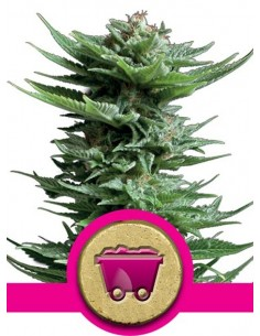 Royal Queen Seeds - Shining Silver Haze
