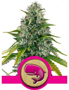 Royal Queen Seeds - Royal Moby