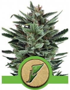 Royal Queen Seeds- Auto Quick One
