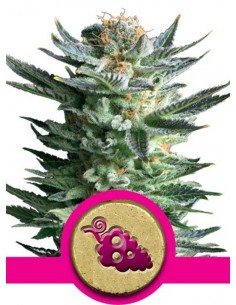 Royal Queen Seeds - Fruit Spirit