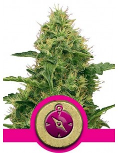 Royal Queen Seeds- Northern Light