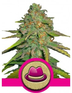 Royal Queen Seeds - O G Kush