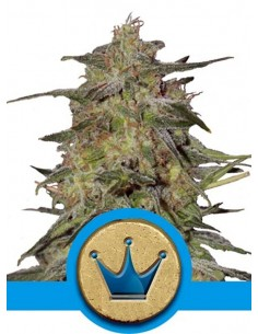 Royal Queen Seeds- Royal Highness CBD