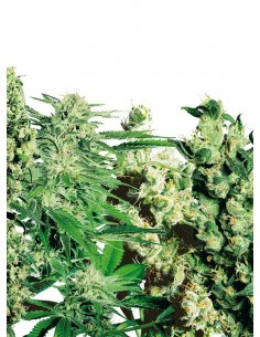 Sensi Seeds- Feminized Mix