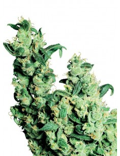Sensi Seeds - Jack Herer - Regular