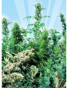 Sensi Seeds - Outdoor Mix 25 Semillas Regulares