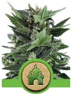 Auto Royal Kush - Royal Queen Seeds