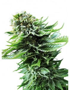 Sensi Seeds Northen Lights Automatic