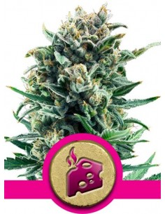 Royal Queen Seeds- Blue Cheese
