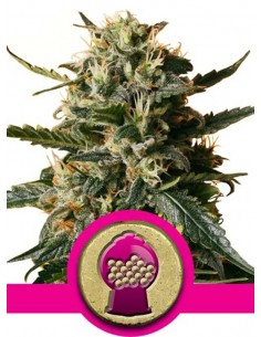 Bubblegum XL - Royal Queen Seeds